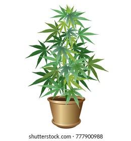 Hemp in pot (Cannabis sativa or Cannabis indica, marijuana). Vector illustration on white background.