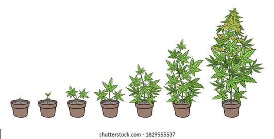 Hemp potted growth stages. Plants development. Cannabis indica. Medicinal plant. Handdrawn sketch vector illustration. Infographic set. Harvest animation progression.