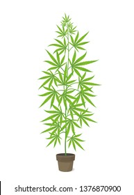Hemp potted plant. Marijuana or cannabis sativa green tree. Isolated vector illustration on white background. Weed Growing in a pot at home.