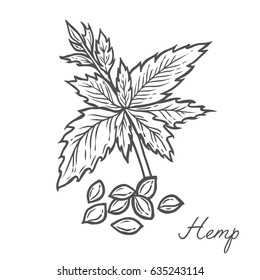 Hemp seed plant, leaf, branch. Hand drawn engraved vector sketch etch illustration. Superfood Nutrition, detox, care, vitamin ingredient. Black on white background