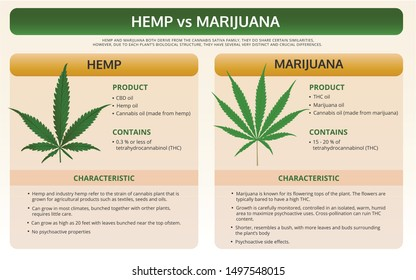 Hemp vs Marijuana horizontal textbook infographic illustration about cannabis as herbal alternative medicine and chemical therapy, healthcare and medical science vector.