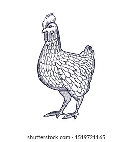 Hen or chicken hand drawn with contour lines on white background. Elegant monochrome drawing of domestic farm poultry bird. illustration in vintage woodcut, engraving or etching style. Vector