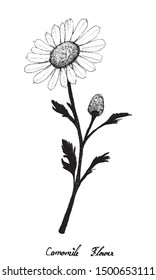 Herbal Flower and Plant, Hand Drawn Illustration of Chamomile or Camomile Used for Traditional Medicine Has Effect on Health or Diseases.
