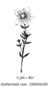 Herbal Flower and Plant, Hand Drawn Illustration of Hypericum Perforatum or St. John's Wort Plant Use in Herbalism and Traditional Medicine.