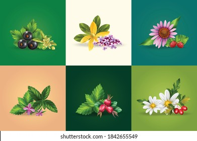 Herbal and green tea ingredients realistic design concept with mint camomile black currant rose hip tutsan melissa isolated vector illustration