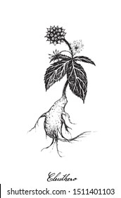 Herbal and Plant, Hand Drawn Illustration of Eleutherococcus Senticosus, Eleuthero or Siberian Ginseng Plants, Used for A Dietary Supplement and Cosmetic.