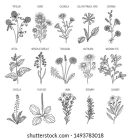 Herbs collection. Medical healthy flowers and herbs nature plants for garden rosemary lavender dandelion vector hand drawn collection