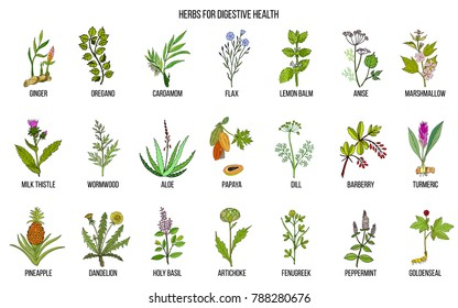 Herbs for digestive health. Hand drawn vector set of medicinal plants