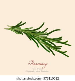 Herbs and spices banner. Vector illustration. Realistic fresh rosemary sprigs isolated on a light background. Cooking and salad ingredient. Decoration design element