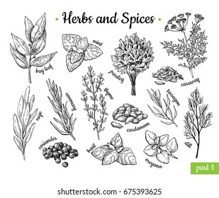 Herbs and Spices. Hand drawn vector illustration set. Engraved style flavor and condiment drawing. Botanical vintage food sketches. Mint, oregano, caraway, coriander, basil, dill and etc.