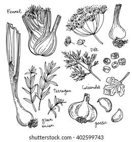 Herbs. Spices. Herb drawn black lines on a white background. Vector illustration. Fennel, dill, coriander, tarragon, green onion, garlic