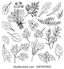 Herbs. Spices. Italian herb drawn black lines on a white background. Vector illustration. Rosemary, arugula, dill, basil, onion, tarragon, spinach
