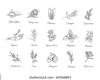 Herbs and spices set. Collection of design sketch plants for the production of aromatherapy, fragrances and essential oils, tea, etc .. Vector illustration.
