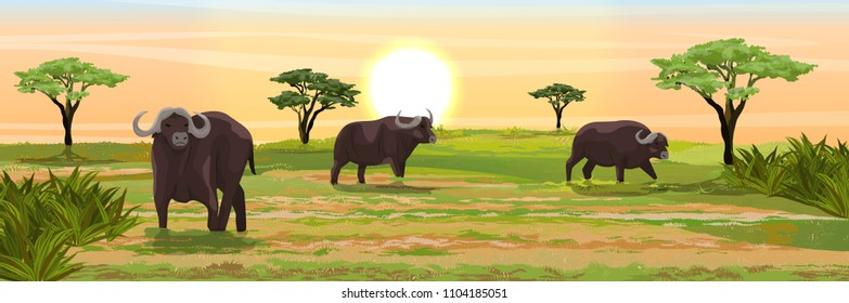 A herd of African black buffalo in the savannah. Grass and acacia trees. Realistic vector landscape. Nature and animals of Africa. Reserves and national parks.