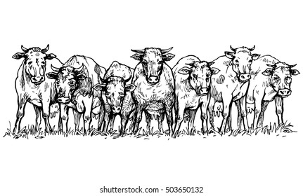 Herd of cows in a meadow - vector illustration isolated on white