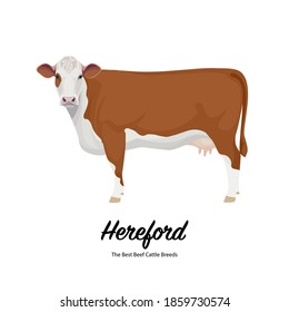 Hereford Cow - The Best Beef Cattle Breeds. Farm animals. Vector Illustration.