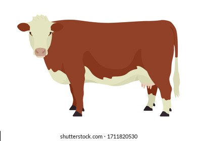 Hereford cow British breed of beef cattle Flat vector illustration Isolated object on white background set