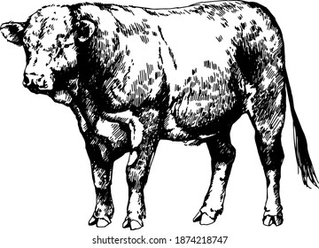 hereford cow bull, vector graphic illustration