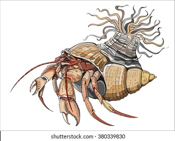 Hermit crabs are decapod crustaceans of the superfamily Paguroidea, vector image