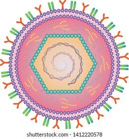 Herpes simplex virus - diagram of Human alphaherpesvirus - HSV-1 HSV-2 - vector