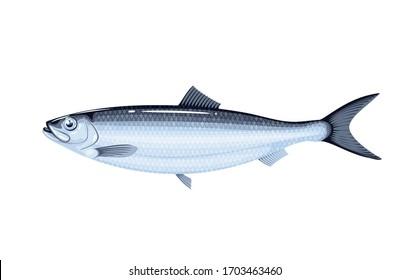 Herring fish. Vector illustration cartoon flat icon isolated on white.