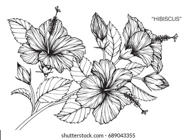 Hibiscus flowers drawing and sketch with line-art on white backgrounds.