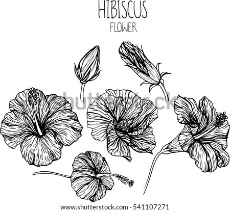 Hibiscus Flower Drawing High Quality Coloring Pages Hibiscus Flower