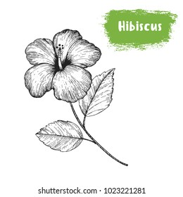 Hibiscus hand drawn sketch. Vintage vector illustration. Label or icon for design of package. Retro style image.