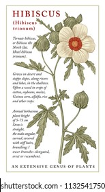 Hibiscus, mallow. Beautiful nature blooming realistic isolated garden flowers. Vintage invitation card. Frame label. Drawing engraving. Freehand Floral medical. Vector stock victorian Illustration