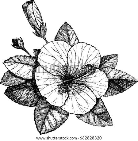 Hibiscus Sketch Hibiscus Vector Hibiscus Flower Stock Vector