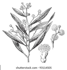 Hickory Wattle (Acacia penninervis) / vintage illustration from Meyers Konversations-Lexikon 1897