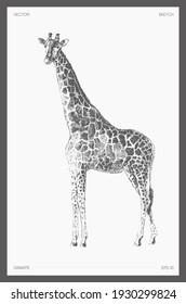 High detail hand drawn vector illustration of giraffe, realistic drawing, sketch