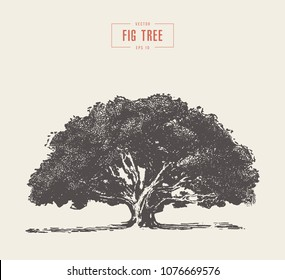 High detail vintage illustration of a fig tree, hand drawn, vector