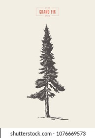High detail vintage illustration of an grand fir tree, hand drawn, vector