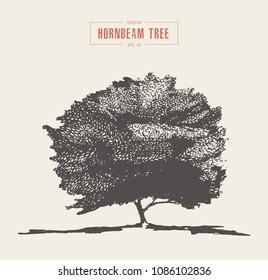 High detail vintage illustration of a hornbeam tree, hand drawn, vector
