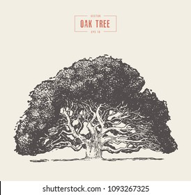 High detail vintage illustration of an oak tree, hand drawn, vector