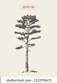 High detail vintage illustration of a scotch pine, hand drawn, vector