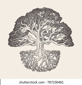 High detailed illustration of an old oak tree with a root system, hand drawn, vector