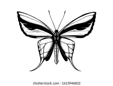 High detailed illustration of Paradise birdwing - butterfly from New Guinea. Hand drawn insect sketch. Tropical butterfly in engraved style. Vintage entomological drawing on white background.