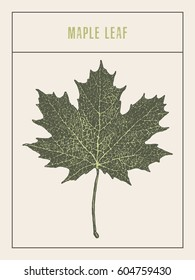 High detailed vector illustration of a maple leaf, hand drawn, sketch