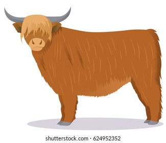 Highland cattle cow