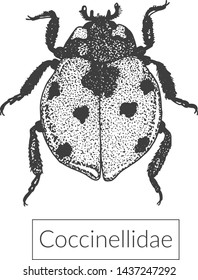 Highly detailed macro ladybug drawing. Realistic illustration of beetle creeping on white background. View from above entomological sketched image