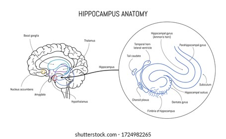 Hippocampus anatomy and structure. Neuroscience infographic on white background. Human brain lobes and sections illustration. Neurobiology scientific futuristic medical vector.