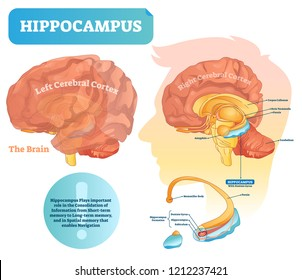 Hippocampus vector illustration. Labeled diagram with isolated closeup structure and location. Formation division with dentate gyrus, subiculum and mammillar body.