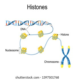 Histones. Schematic representation shows the organization and packaging of genetic material in Chromosome. Vector diagram for educational, biological, medical, and scientific use