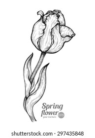 Holland tulip on a white background. Vector. Hand drawn artwork. Love concept for wedding invitations, cards, tickets, congratulations, branding, boutique logo, label. Gift for young girl and women