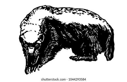 Honey badger. Ink vector illustration of african animal. Black and white sketch