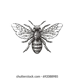 Honey bee. Hand drawn engraving style illustrations.