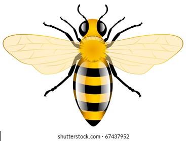 Honey Bee, vector illustration