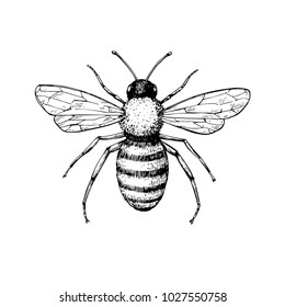 Honey bee vintage vector drawing. Hand drawn isolated insect sketch. Engraving style illustrations. Great for logo, icon, label, packaging design.